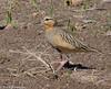 Tawny-throated Dotterel (hogsas) Tags: peru arequipa shorebirds shorebird dotterel tawnythroated peruvianimages peruvianbirds