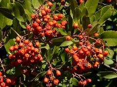 Ripe berries of native Toyon aka Christmas Berry or California Holly (Heteromeles arbutifolia, Rosaceae) (Treebeard) Tags: california berry santabarbaracounty rosaceae toyon sanmarcospass christmasberry heteromelesarbutifolia californiaholly