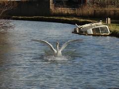 Splash Down (Wildlife Terry (Catching Up)) Tags: animal swans feed cygnets wheelock manufacturers trentandmerseycanal sandbach cheshireeast hjleaoakes
