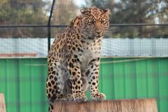 Amur Leopard (Chicago John) Tags: world park cats oregon great junction leopard cave amur amurleopard cavejunction greatcatsworldpark {vision}:{outdoor}=0662 {vision}:{text}=06