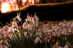 Sundown at Ardgowan Snowdrop Sunday (g crawford) Tags: flowers sunset plants plant flower sundown snowdrops crawford snowdrop inverkip ardgowan snowdropsunday ardgowanestate