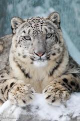 Snow Leopard 1 (Mark Dumont) Tags: animals cat cincinnati dumont leopard mammal mark snow zoo