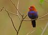 Purple Grenadier male. (Rainbirder) Tags: kenya purplegrenadier uraeginthusianthinogaster rainbirder