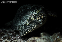 Hawksbill Turtle (Ok More Photos) Tags: hawksbill turtle tortuga tortue underwater sousmarin sousmarine submarine submarino submarina buceo plongee buceando inmersion dive diving shadow light luz sombra lumiere ombre naturallight luznatural natural naturelle nature naturaleza wildlife wild life salvage sauvage cozumel caribe caribbean caraibes caribeno reef arrecife recif mexico animal