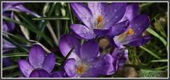 P1150354 Oaks Park Surrey...26.02.14 (Tadie88) Tags: flowers nature spring crocus surrey 2014 oakespark vision:plant=0732 vision:outdoor=0884 oakesparksurrey