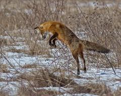 Fox Hunting IMG_9854 (ronzigler) Tags: fox