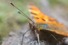 Comma (polygonia c-album) (markhortonphotography) Tags: park macro canon insect spring surrey 100mm 7d f28 comma polygoniacalbum royallandscapes eos7d thevalleygarden vision:plant=0712