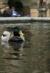 Duck in a fountain (alex_babbler) Tags: people white colour reflection bird fountain duck ripple background derbyshire duke mallard chatsworth devonshire duchess