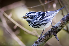 Black and White Warbler (Dan Pancamo) Tags: bird nature birds march spring texas warbler 2014 blackandwhitewarbler 2011 canon7d laffitescove lafittescovenaturepreserve canon14xiii laffitescovenaturesociety canon500mmf4isii