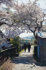 (igu3) Tags: japan nara cherrytree