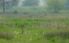 Brown Hare (jump for joy2010) Tags: uk england green evening hare meadows somerset april series grassland mammals marshy wildanimals 2014 brownhare somersetlevels lepuseuropaeus
