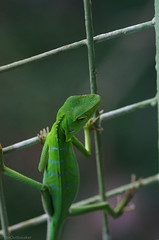 lizard on the fence2