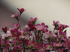 IMG_4736 (germancute) Tags: flower nature rain blume regen