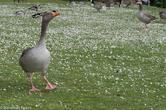 Duck Strut (JonEvans94) Tags: lake green walking moving duck nikon walk posing around milton keynes willen d3200