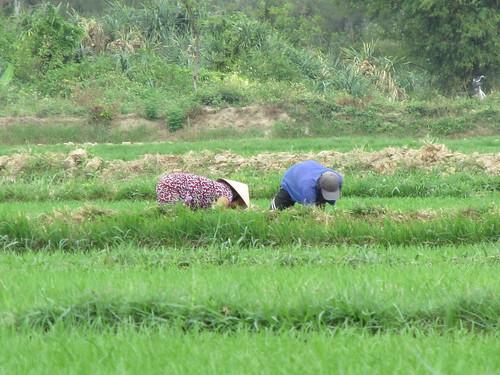 Riziculture, Hoi An, Vietnam