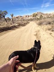 Dunkel & I enjoying a walk in the park. (A Wild Western Heart) Tags: california desert mojave dunkel gsd joshuatreenationalpark germanshepherddog
