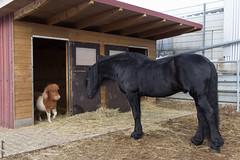 """Das ist MEIN Haus!"" / ""This is MY house!"" (HendrikSchulz) Tags: horses horse animal animals tiere champion pony tamron pferde pferd daen tier februar pauli shetlandpony weh friesian 2015 friese minishetty baroquehorse tamronspaf1750mmf28xrdiiivc barockpferd canoneos600d friesenstallweh friesenstall"