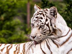 White tiger licking his skin (John van Beers) Tags: france zoo tiger tijger lorraine whitetiger dierentuin bengaltiger amnéville wittetijger pantheratigristigris bengaalsetijger hagondange zoodeamnéville