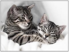 Jerry & Nelly - Explored - Thank you very much!! (ラルフ - Ralf RKLFoto) Tags: cats love kitten hugh katzen katzenkinder greatphotographers