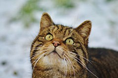 Scottish Wildcat (Michelle O'Connell Photography) Tags: wild animals cat scotland countryside feline unitedkingdom fife wildlife tabby tortoiseshell touristattraction ecosse cupar scottishwildcat europeanwildcat bowoffife thescottishdeercentre michelleoconnellphotography
