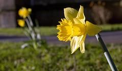 Daffodil (c.richard) Tags: winter sunshine spring daffodil olympuspen stjohnschurch midsomernorton brokeh olympusep5