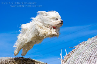 Jumping havanese