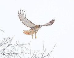 Christo carries a stick to his nest (Goggla) Tags: park new york nyc red urban male bird village adult hawk tail east raptor stick tompkins christo squaer goglog
