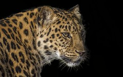 Amur Leopard Colour (tiger3663) Tags: uk cat wildlife leopard trust survival amur the