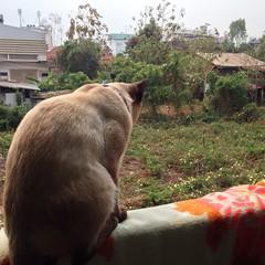 ชมนกชมไม้ #ไข่ตุ๋น #khaitoon  #sealpoint #วิเชียรมาศ #thai #siam #siamese #cat #kitty #kitten #แมว #ลูกแมว #ไทย #สยาม #udon #udonthani #อุดร #อุดรธานี