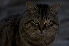 The eyes of the wildcat (ramosblancor) Tags: madrid naturaleza cats nature eyes wildlife ojos felinos animales mammals mamferos felissilvestrissilvestris europeanwildcat gatomontseuropeo