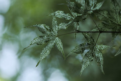 Whispers from the trees (Irina1010) Tags: tree nature monochrome leaves bokeh ngc greens mapletree mapple canon80d