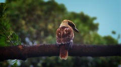 #129_IGP5325_Kookaburra (imageo) Tags: birds hdr kookaburra