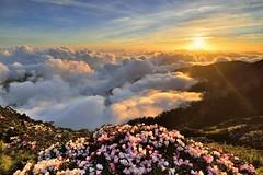 合歡山主峰●玉山杜鵑雲海夕彩   Taiwan Alpine Rhododendron Sunse (Shang-fu Dai) Tags: 台灣 taiwan 南投縣 仁愛 合歡山 雲海 hehuan nikon d800e landscape sunset 日落 夕陽 日芒 太陽 sun 高山杜鵑 玉山杜鵑 杜鵑 af20mmf28d 杜鵑花 taiwanalpinerhododendron formosa 3416m 3417m 合歡主峰 主峰 雲