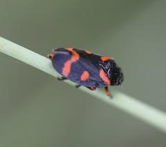 Froghopper (Cercopidae) (iainrmacaulay) Tags: france froghopper cercopidae