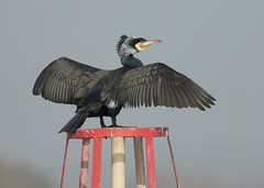 Cormorant - Phalacrocorax carbo (Gary Faulkner's wildlife photography) Tags: cormorant sussexbirds