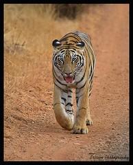 Tiger_Tadoba (Sriram sreenivasan) Tags: nikon tiger tamron200500 tadoba d7000