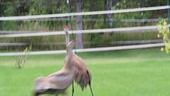 Sandhill Cranes (spwasilla) Tags: alaska yard canon video cranes pasture sandhillcranes tamron150600mm