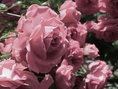 rosas rosas (jakza - Jaque Zattera) Tags: flores vrias rosas corderosa