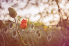 The Waiting (SimplyAmy74) Tags: sunset nature zeiss 35mm washington spring waiting spokane sundown bokeh sony memories may happiness wanderlust explore poppy poppies pacificnorthwest washingtonstate wandering naturewalk happyplace explorewashington sonya7