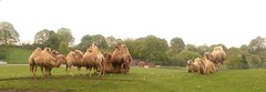 Bactrian Camels (KT-wu) Tags: group camels familygroup westmidlandssafaripark