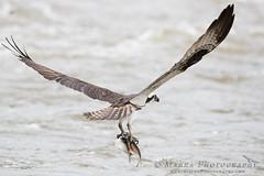 _DX_0980web (Marra_Photography) Tags: birds canon virginia richmond richmondva osprey birdsofprey waterbirds rva jamesriver canonphotography ef600mm visitrichmond 1dxmii