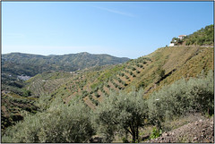 Hillside Olive Groves (Mabacam) Tags: mountain mountains nature walking landscape outdoors countryside spain view hiking country andalucia trail moorish olives vista hillside olivetrees 2016 olivegroves sayalonga canillasdealbaida