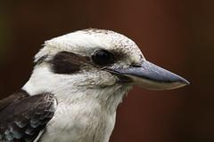 _MG_5108+ (jimboshep) Tags: birds kookaburra