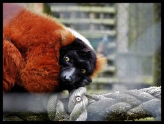 Red Ruffed Lemur (daisywilks) Tags: red tired lemur resting shocked ruffed