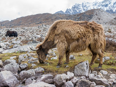 Yak near Lobuche (sasbphotography) Tags: yak mountain snow mountains clouds mt himalaya yaks everest himalayas