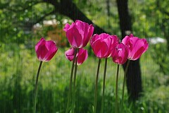 Dernires tulipes (mamietherese1) Tags: ngc doublefantasy world100f fleursetpaysages itsallaboutflowers