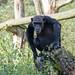 Schimpanse / Common Chimpanzee