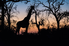 Africa Morning (btdonnelly83) Tags: africa morning travel trees light vacation travelling tourism beauty animals sunrise southafrica early nationalpark shadows tourist traveller sillouette tall giraffe kruger biggame klaserie