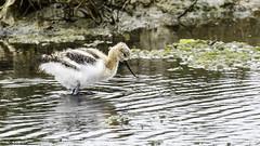 American Avocet Chick (Bob Gunderson) Tags: sanfrancisco california birds northerncalifornia americanavocet shorebirds recurvirostraamericana heronshead