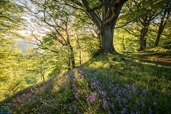 Bluebells (James G Photography) Tags: sunset bluebells woods derbyshire cromford leabridge highpeakjunction bowwood